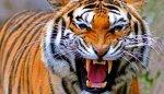 В Нью-Йорке тигр покусал парня, который рухнул в его вольер